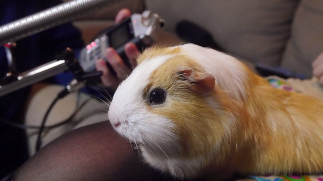 Tomoki's real-life guinea pig provided the sounds for its animated counterpart